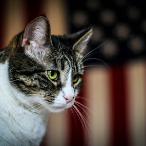 Americat by Maria Sicilian - Animals - Cats Portraits ( greene yes, cat, flag, red white and blue, american, american flag, feline, kitty, tabby, usa,  )