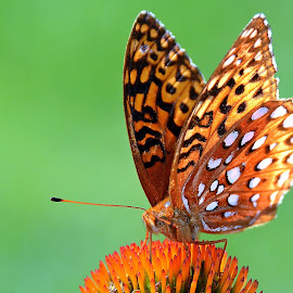 Great Spangled Fritillary by Steven Liffmann - Animals Insects & Spiders ( butterfly,  )