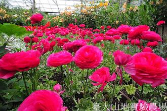Photo: 拍攝地點: 梅峰-溫帶花卉區 拍攝植物: 陸蓮 拍攝日期:2012_04_03_Yah