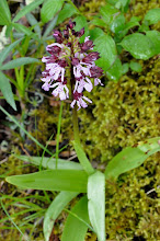 Photo: De Cravant à Irancy (orchis)