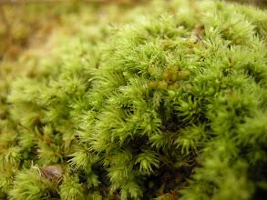 Photo: Aulacomnium palustre - Myrfiltmose