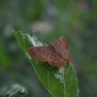 Falcate metalmark butterfly