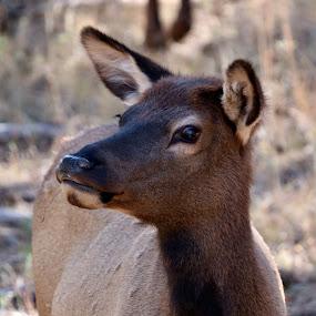 Cow elk by Lyn Simuns - Animals Other Mammals ( elk )
