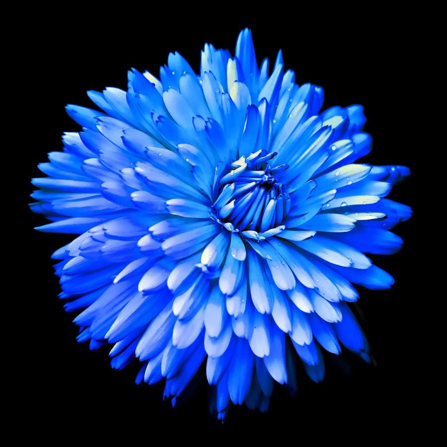 Blue by Michael Michael - Flowers Single Flower ( macro flower, blue, wildflower, flower,  )