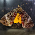 Orange Underwing Forester