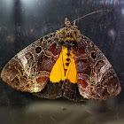 Orange Underwing Forester