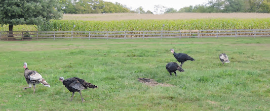 Photo: Turkeys - Gettysburg Farm Thousand Trails - Outdoor World