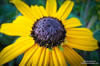 Photo: Blackeyed Susan - Rudbeckia hirta is a species of flowering plant in the family Asteraceae, native to the central United States. But can be found throughout Texas.  Most commonly seen in wildflowers on the side of the road and in butterfly/hummingbird gardens.  This is a great annual plant to grow if you live in the DFW, Austin, Houston, and surrounding areas.  I found this Blackeyed Susan while on a photowalk at Klyed Warren Park. James Johnston - http://www.EvolutionaryDesigns.net/ / http://JamesJohnston.info/