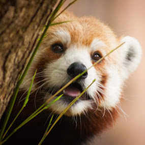Red Panda at the Memphis Zoo by Mary Phelps - Animals Other Mammals ( memphis, zoo, tennessee, memphis zoo, red panda,  )