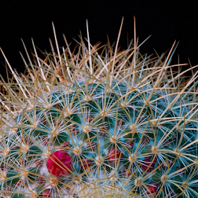 Thorny Cactus by Martha van der Westhuizen - Nature Up Close Other plants ( succulent, macro, blooming, thorny, cactus )