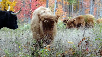Photo: Fall colors and grazing amongst fallen leaves...