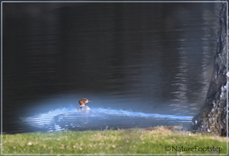 Photo: Blue mist for the Goosander © NF Photo 160416 http://nfbild2.blogspot.se/2016/04/blue-mist-for-goosander.html