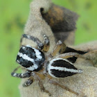 Jumping Spider (Male)