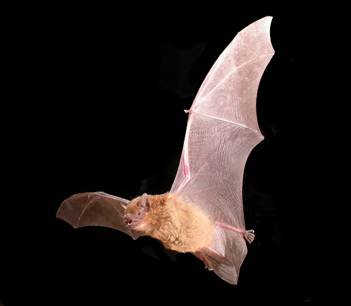 Greater broad-nosed bat Scoteanax rueppellii