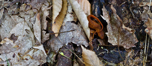 Photo: Red-spotted Newt