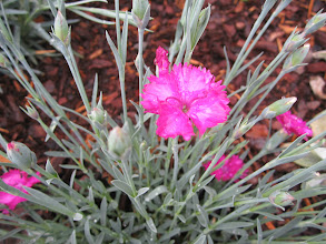 Photo: Dianthus in the new Bragdon daffodil garden