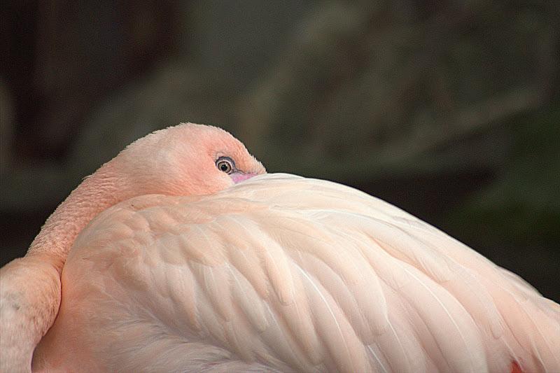 Fenicottero rosa- dettaglio  di utente cancellato