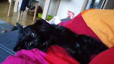 """Photo: """"Kicia Sunny jest nie poznania. Teraz to zupełnie inny kot niż ten, który widziałam w schronisku. W schronisku była apatyczna i nietowarzyska, a teraz to największy pieszczoch. Nie odstępuje mnie nawet na krok Nie sądziłam, że tak zwierzak może się zmienić po opuszczeniu schroniska. :) Nauczyła się już korzystać z kuwetki. Załączam kilka zdjęć kici Pozdrawiam i dziękuję za możliwość jej adopcji."""" My dziękujemy bardzo za adopcje Sunny :)"""
