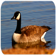 Goose sounds