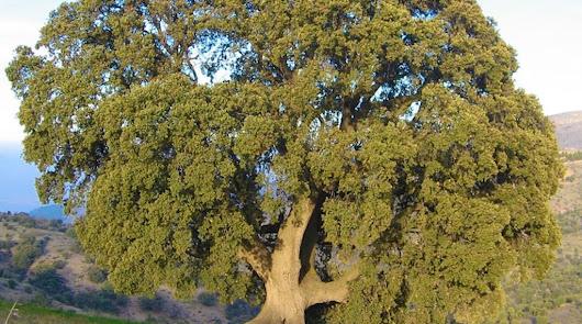 La peana, el árbol más grande de Andalucía, pide auxilio desde Almería