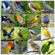 Kicau Burung Masteran
