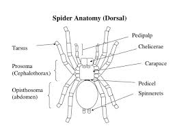 Image result for spiders diagram