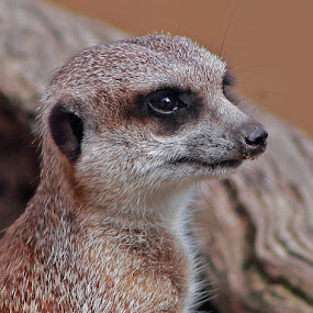 Meerkat by Deb Thomas - Animals Other ( meerkat,  )