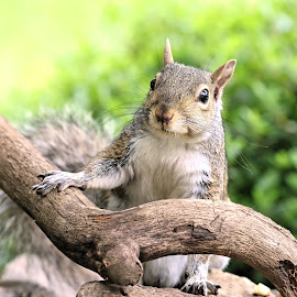 Youngen by Kathy Jean - Animals Other Mammals ( squirrel, mammal, young grey squirrel, grey squirrel, animal )