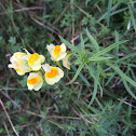 Yellow Toadflax (Butter and Eggs)