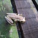 Perereca-leiteira (Milky tree frog)