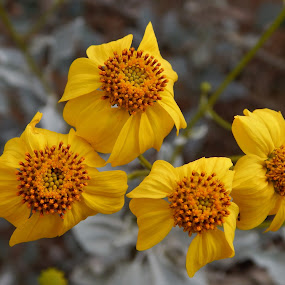 Yellow Brittlebush by Maria Epperhart - Flowers Flowers in the Wild ( orange, flowers, plants, four, yellow, wild,  )