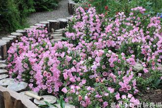 Photo: 拍攝地點: 梅峰-溫帶花卉區 拍攝植物: 風鈴草 拍攝日期: 2015_05_29_FY
