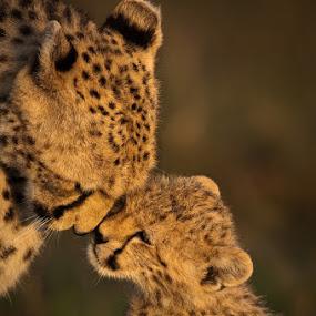 Cheetah & Cub by Ken Dyball - Animals Other ( cheetah cub masai mara kenya greeting )