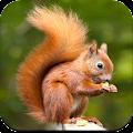 Squirrel Wallpaper HD APK