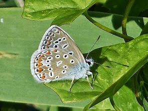 Photo: Hauhechel-Bläuling (Polyommatus icarus)