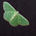 White Fringed Emerald