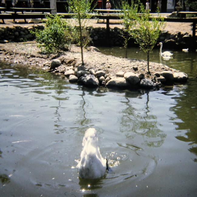 Swans at Aqualand