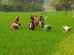 Photo: #221-Rizières dans le Karnataka