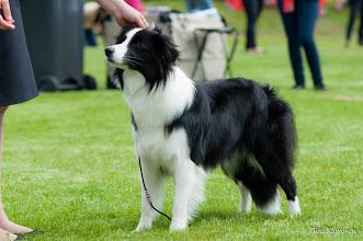 Photo: Darcey of Clover Meadow, Int. Dog Show Kotka (Finland) Junior Class EX C 2
