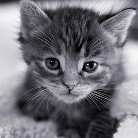 by Brook Kornegay - Black & White Animals ( cat, kitten, b&w, black and white, pet, tabby, portrait )