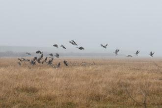 Photo: Canada geese taking off near Steamboat Lake, Colorado