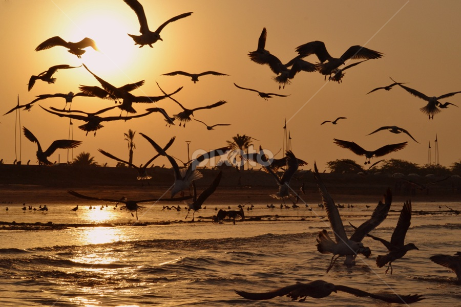 Seagulls by Irma Andriani - Animals Birds ( bird, seagull, sunset, silhouette )