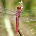 Carmine skimmer (male)