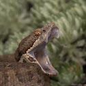 Horseshoe Pit Viper