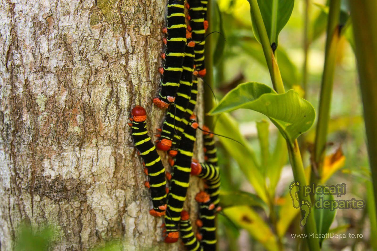 Omizi omida ale unui fluture de noapte, in Tarapoto, Peru. Omida unui fluture de noapte ecuatorial. Caterpillar of a moth in ecuatorial forest, Tarapoto, Peru