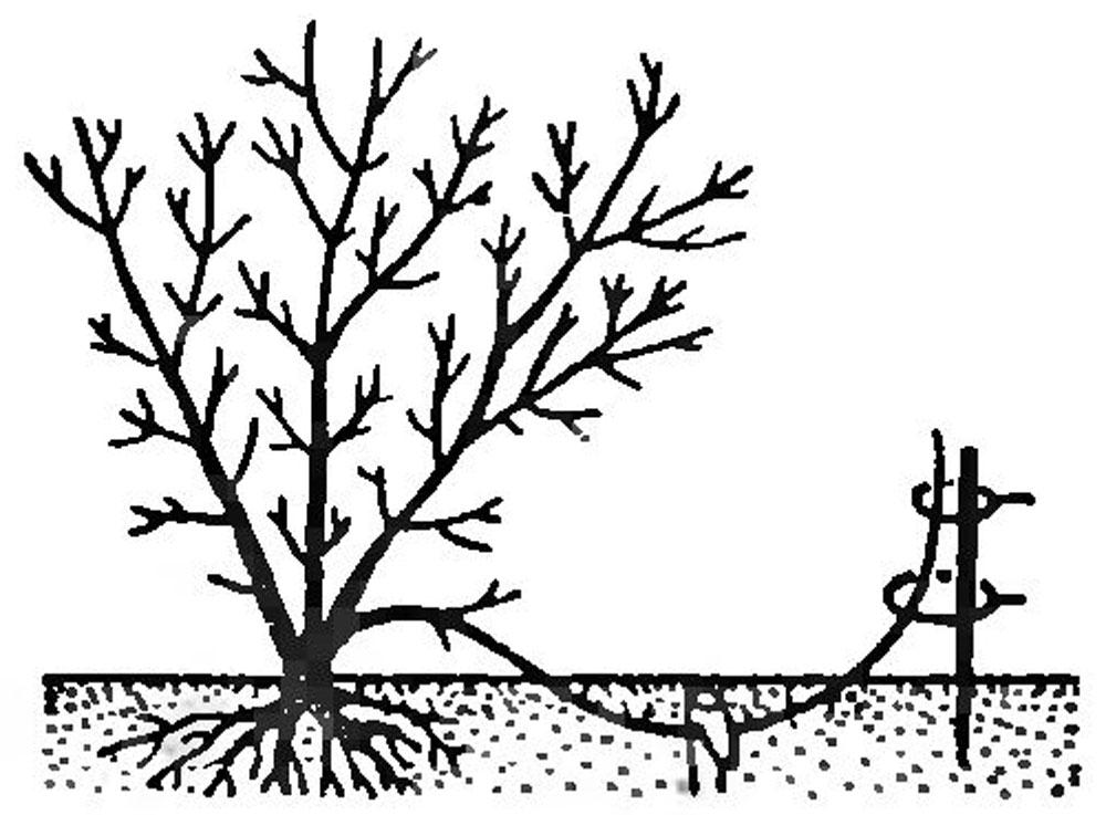 Размножение спиреи отводками