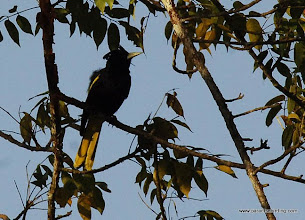 Photo: Yellow-winged Cacique, Nuevo Vallarta
