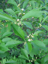 Photo: Winterberry flowers, 6.19
