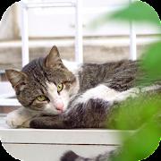 Lazy Cat Video Wallpaper