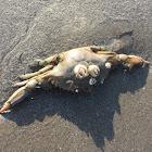 Atlantic Blue Crab